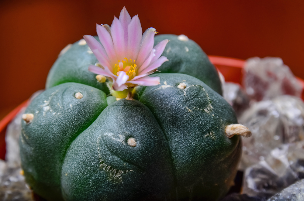 Lophophora williamsii - Peyote | World of Succulents |Peyote Cactus